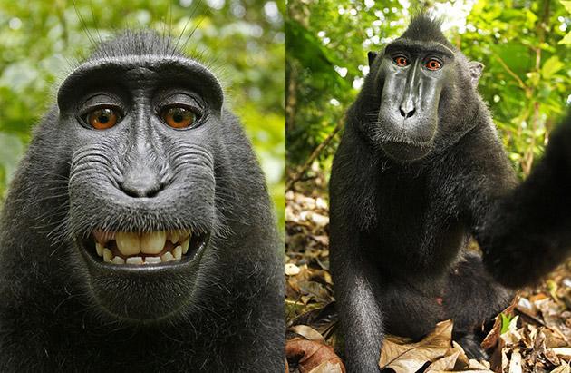 Offiziell: Kein Copyright für Affen-Selfies