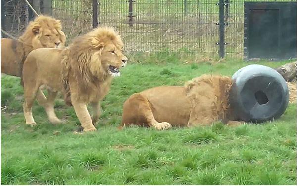 ライオンがドラム缶に頭を突っ込んで抜けないシュールすぎる動画が話題にwww