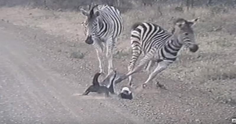 【強すぎ】「世界一怖い物知らずの動物」としてギネス認定されたラーテル、子供に近づくシマウマたちを母親が一瞬で蹴散らす動画が話題に