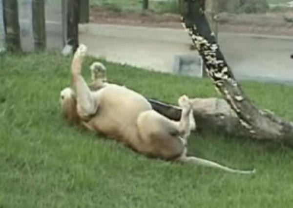 13年間サーカスにいたライオンが初めて自然の草に触れた瞬間が感動的すぎる【動画】