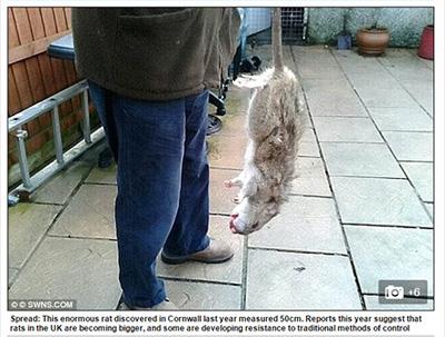 突然変異した巨大ネズミ「スーパーラット」が各地で発見される!約50センチの大きさも