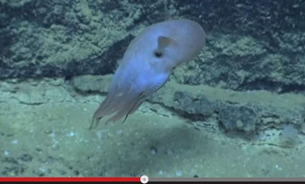 深海で「可愛すぎるタコ」が撮影され話題に 「象のような耳」「青色に発光」