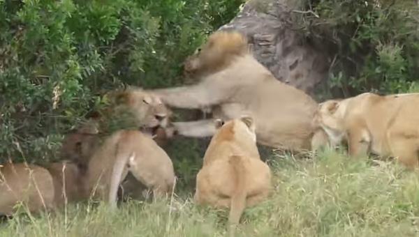 これぞ「野生の王国」!オスライオン2匹の仁義なき殴り合いがスゴすぎる【動画】
