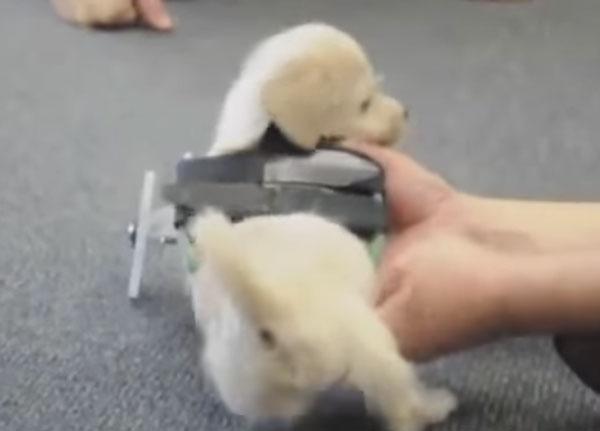 3Dプリンターの無限の可能性!前足を失くした子犬に車輪つき歩行補助器【動画】