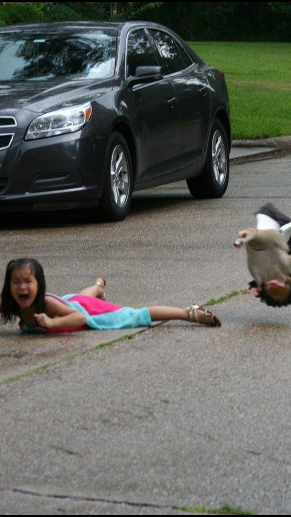 duck attacks little girl twitter
