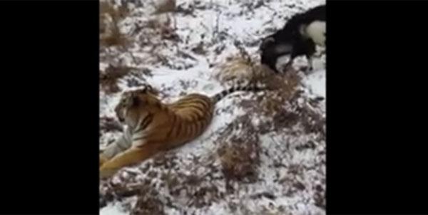 おそロシアで衝撃実験!トラとヤギを同じオリの中で生活させるとどうなるか?