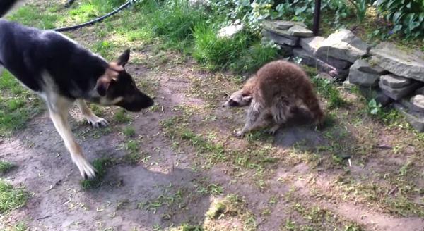 ロケットラクーンかよ!「アライグマは実は超凶暴な動物」という事が分かる映像