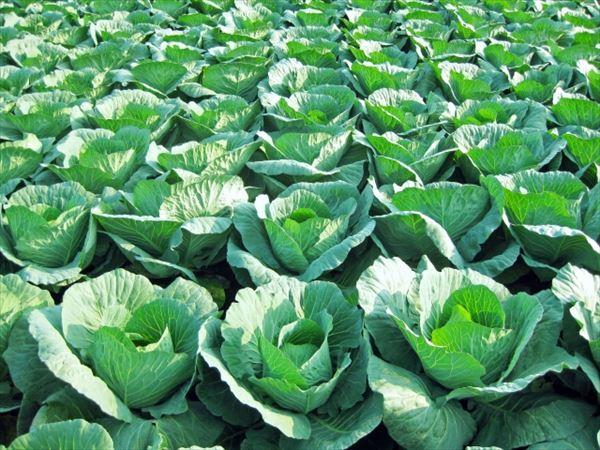 短期間でキャベツ1000玉以上が盗まれる 頻発する野菜泥棒に戦々恐々