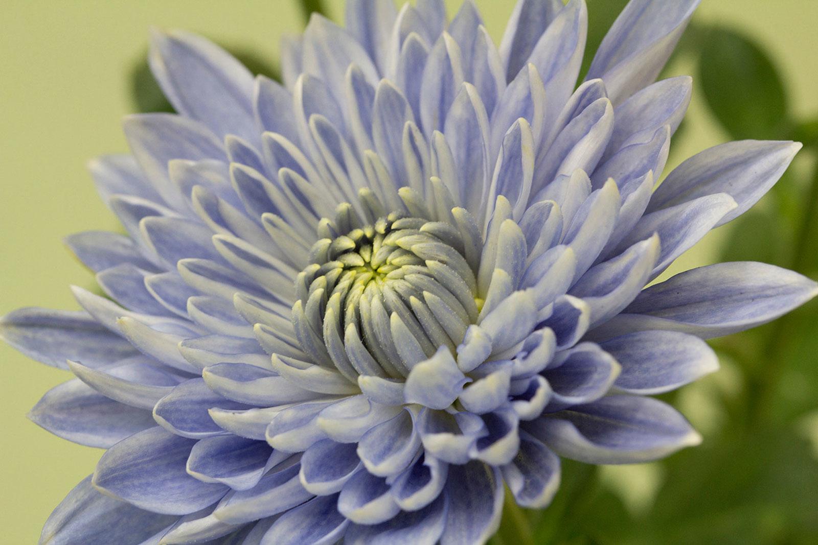 Científicos crean una flor azul completamente antinatural