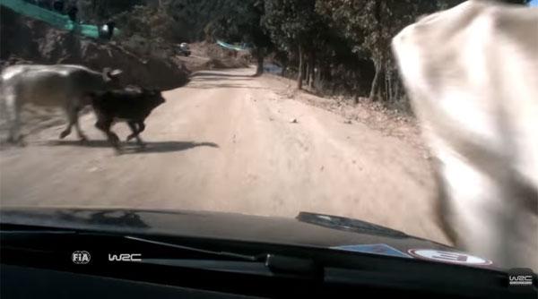 あわや大事故!牛の親子を寸前でかわしたラリードライバーの反射神経がハンパねぇ【動画】