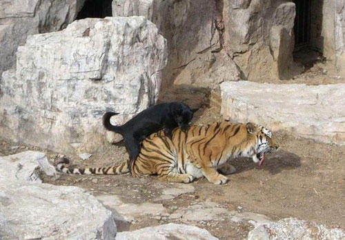 manliest photos on the internet, funny manly images, dog wrestles tiger