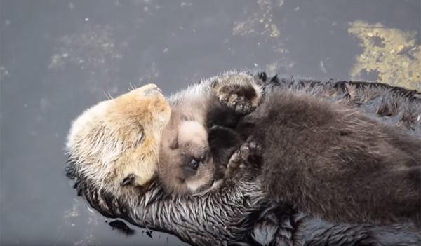 ママのお腹の上で幸せそうに眠る赤ちゃんラッコが可愛すぎる【動画】