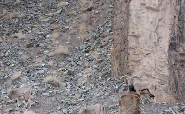Can you spot the snow leopard in this picture?