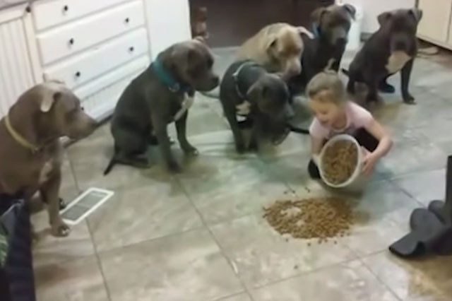 Video of four-year-old girl feeding six hungry pit bulls sparks outrage