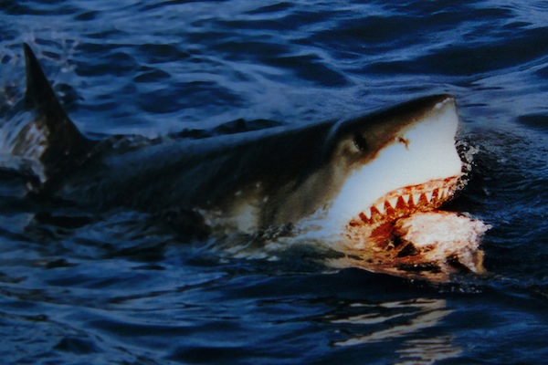 worst ways to die in australia, great white shark
