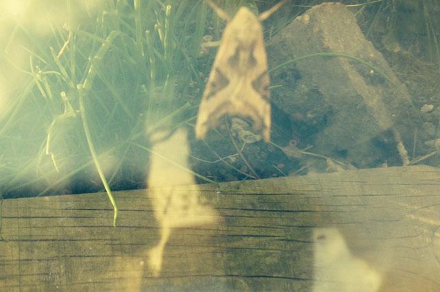 Moth pet