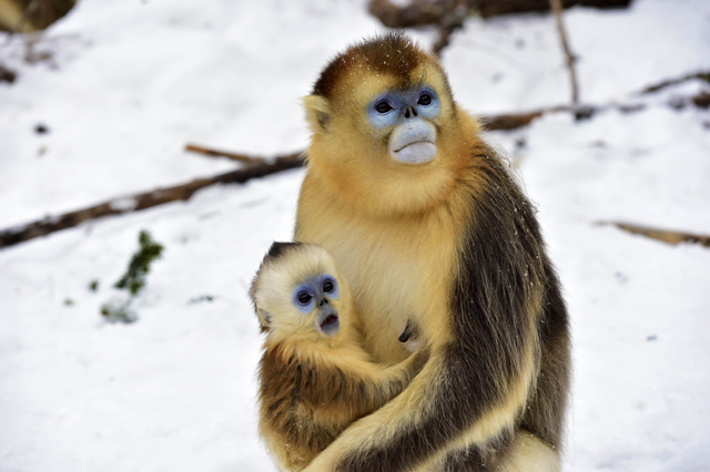 Mandatory Credit: Photo by Xinhua/REX/Shutterstock (5540469h) Golden monkeys at Dalongtan Golden monkeys Research Center in Shennongjia, central China's Hubei Province Dalongtan Golden monkeys Research Center, Shennongjia, China - 13 Jan 2016 The Shennongjia Nature Reserve is home to the rare Golden monkeys, which is on the verge of extinction and was first spotted in Shennongjia in the 1960s. The amount of Golden monkeys in Shennongjia right now has doubled since the 1980s because of better environmental protection