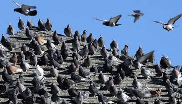 屋根に300匹の鳩が群がってほのぼの・・・と思いきや実はマリファナ栽培所だった!