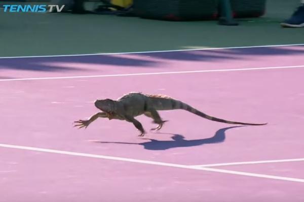 試合中のテニスコートにイグアナが乱入!【映像】