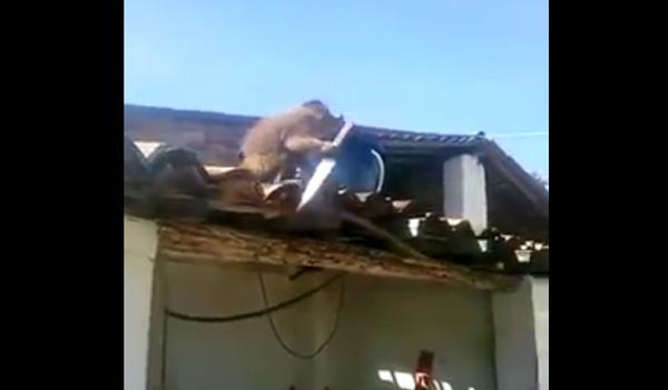 サルが酔っぱらって屋根の上で包丁もって大暴れしててマッドすぎるwww【動画】