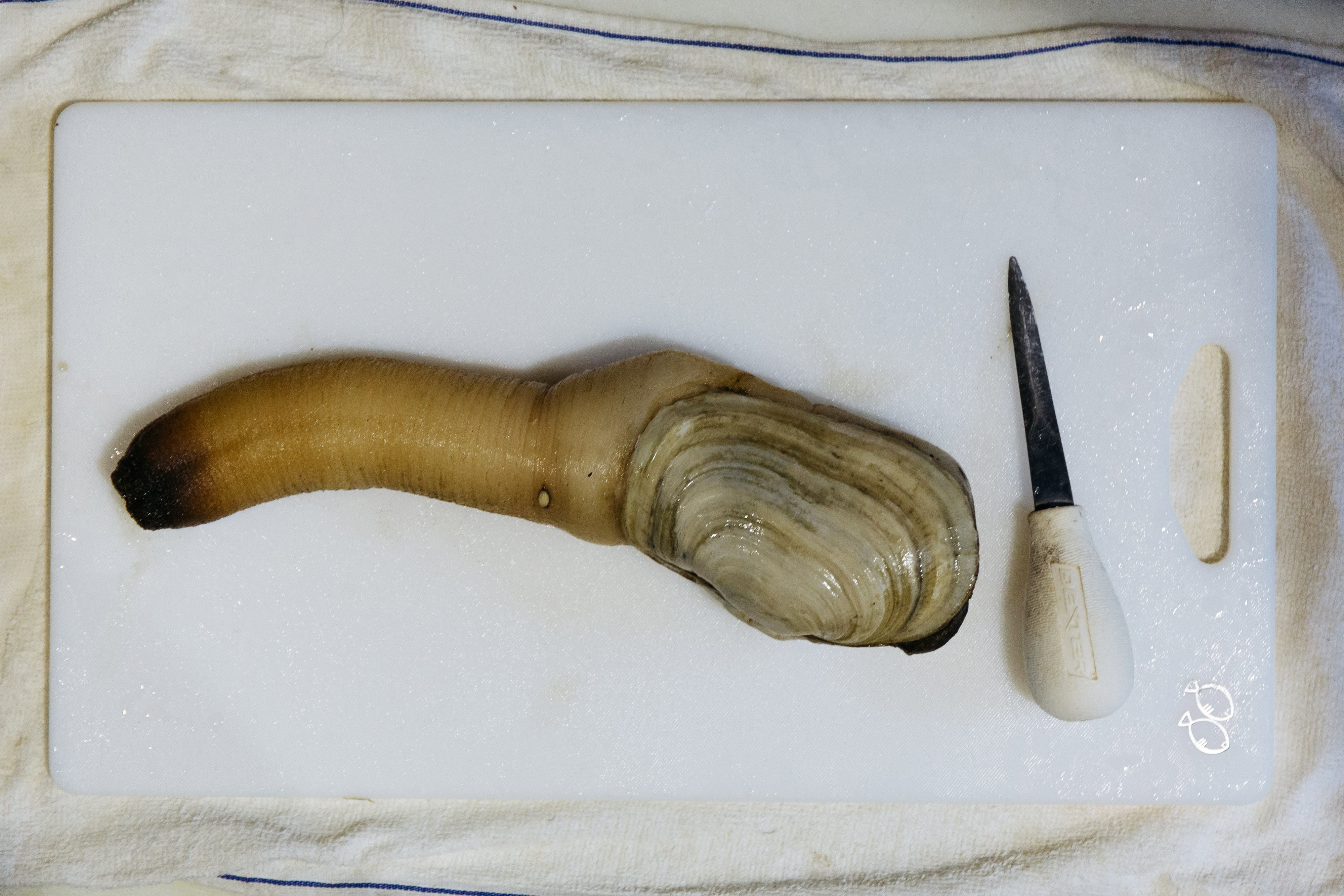 Geoduck Production At Taylor Shellfish Farm As Chinese Consumers Import Nearly 1 Million Pound Annual Haul