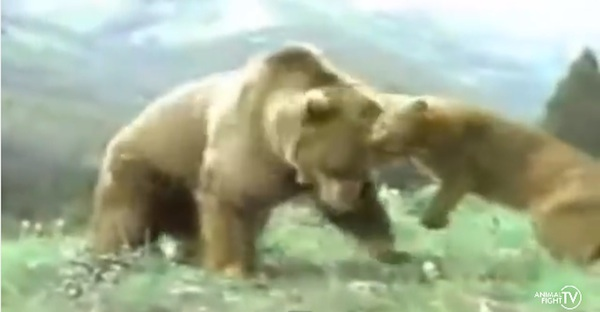 死闘!「ライオンVS巨大グマ」地獄の頂上決戦 衝撃的な幕切れに!【動画】