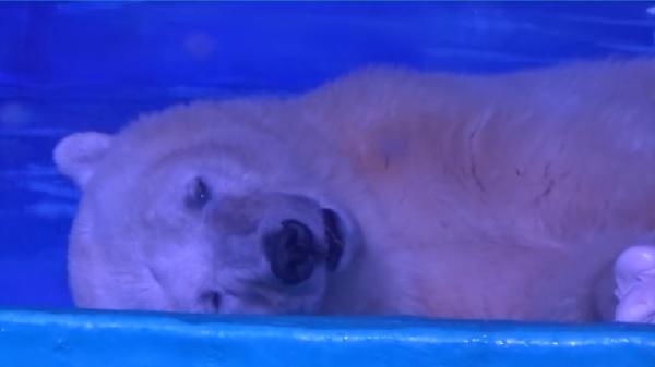 「世界一悲しいホッキョクグマ」に英国の動物園が引き取りを申し出る