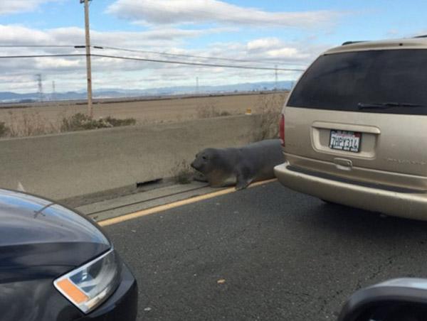 高速道路に体重230キロのゾウアザラシが出現!圧巻の巨体で道路を制圧し大捕獲劇へ