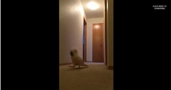オウムが人間みたいな声で叫びながら走り回って楽しそうだと話題に【動画】
