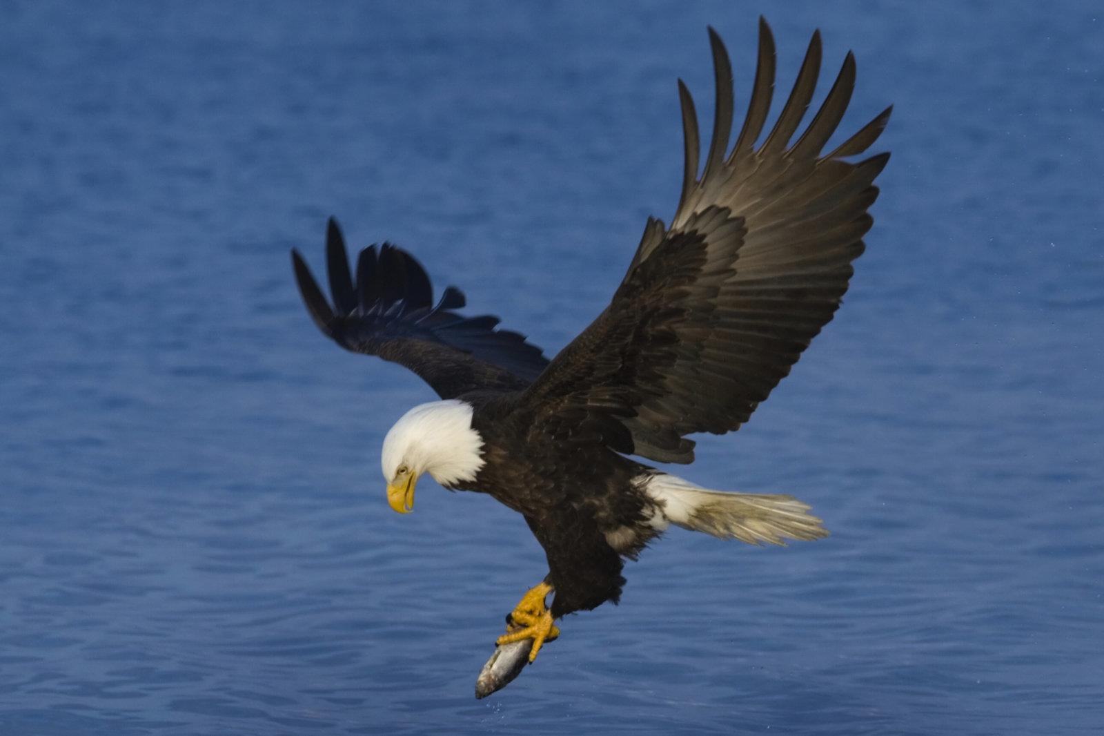 Alaska bald eagle fishing