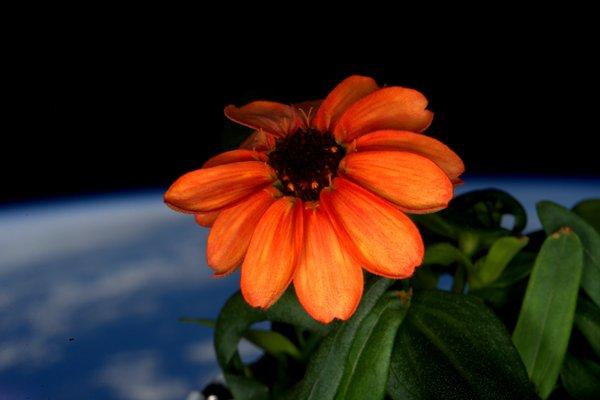 Grüner Daumen: Astronaut Scott Kelly züchtet Blume auf der ISS