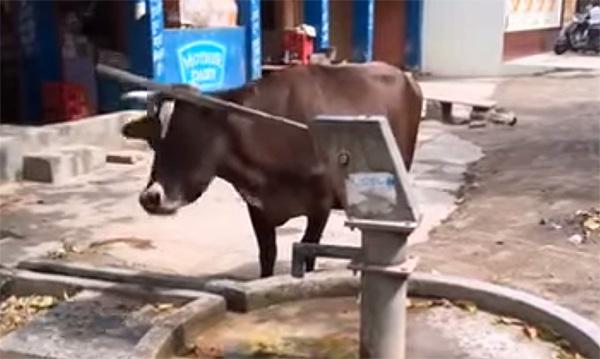 牛は学習能力が実はスゴかった!水を飲む、自動ドアを開ける、さらに複雑な行動も【動画】