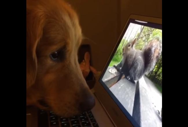 パソコンに映るリスの動画を超真剣に見つめるワンコがかわいすぎるwww