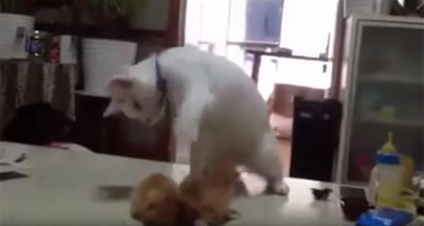 生まれたての子ネコと遊びたいニャンコが一生懸命アピってて可愛すぎる【動画】