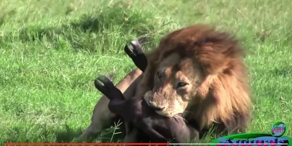 ライオンは百獣の王である!怖さを再認識させる怒りのデス映像まとめ