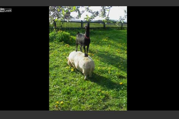【ほのぼの】ブタに乗っかってエサを食べるヤギの姿にネット上で話題