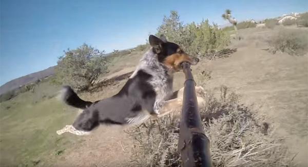 犬が自撮り棒をくわえて撮ったセルフィーが可愛すぎるwww【動画】