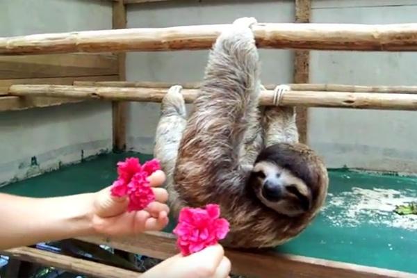 ナマケモノに花をプレゼントしたら予想外の優し可愛すぎる展開に【動画】
