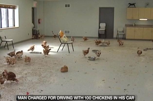 【ビデオ】クルマにニワトリ100羽をすし詰め+飲酒運転の男に180日間の禁固刑