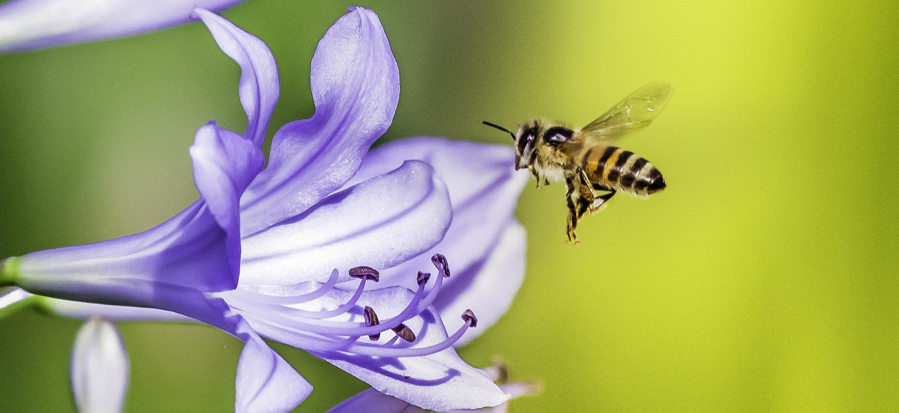 Flying Bee entering a african lily flower with the stamen of the flower in sight.