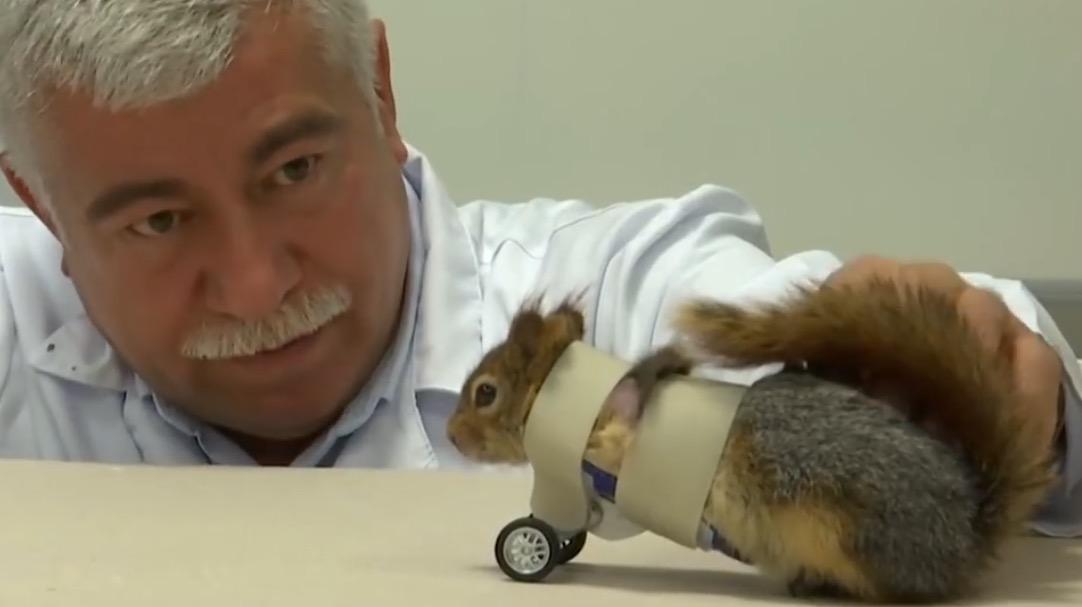 Eichhörnchen bekommt Räder-Prothesen nach Fallen-Unfall