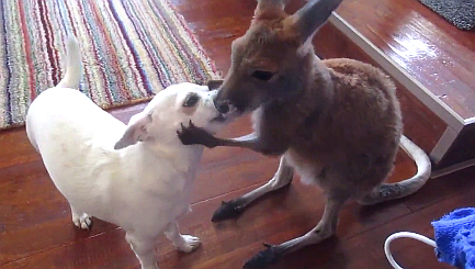 Joey gives Chihuahua pal a quick groom and a kiss