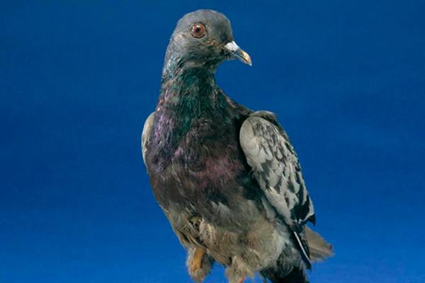 incredible animal journeys, amazing animals, cher ami the pigeon