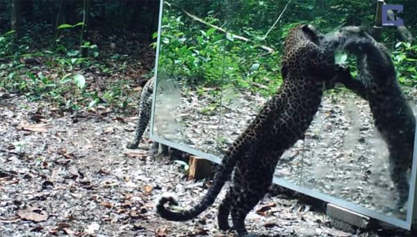 ジャングルに巨大な鏡を設置、ゴリラ・ゾウら野生動物の反応はどうなる?【動画】