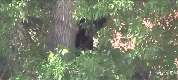 高い木の上から降りられなくなった子グマ、衝撃の展開へ【動画】
