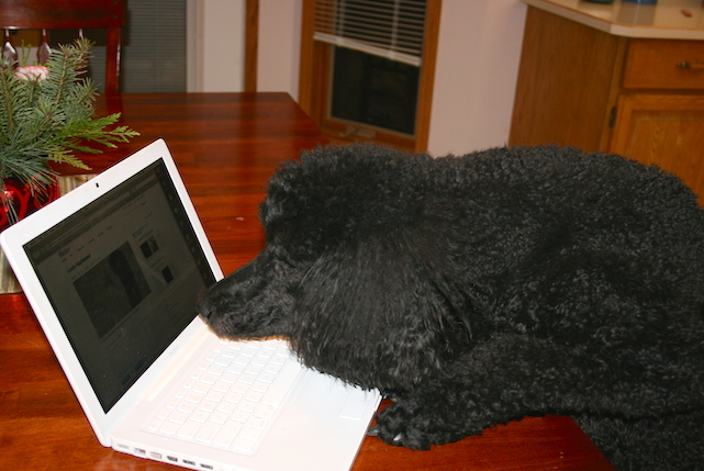 Louie the standard poodle, checking himself out on YouTube