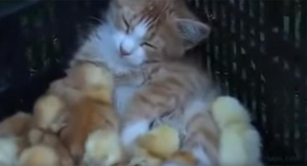 ヒヨコたちに囲まれて嬉しそうな子ニャンコが可愛すぎる【動画】