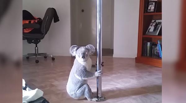 家に帰ったらコアラがポールダンスしてたwww 可愛すぎる動画に世界が爆笑