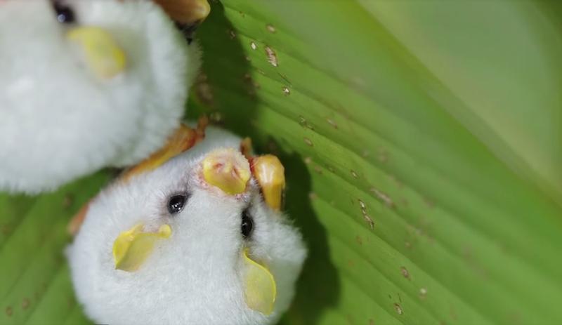 コットンみたいにふわふわ! 白いコウモリ「シロヘラコウモリ」がかわいすぎる