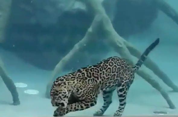 Jaguar amazes zoo visitors by swimming for its supper (video)